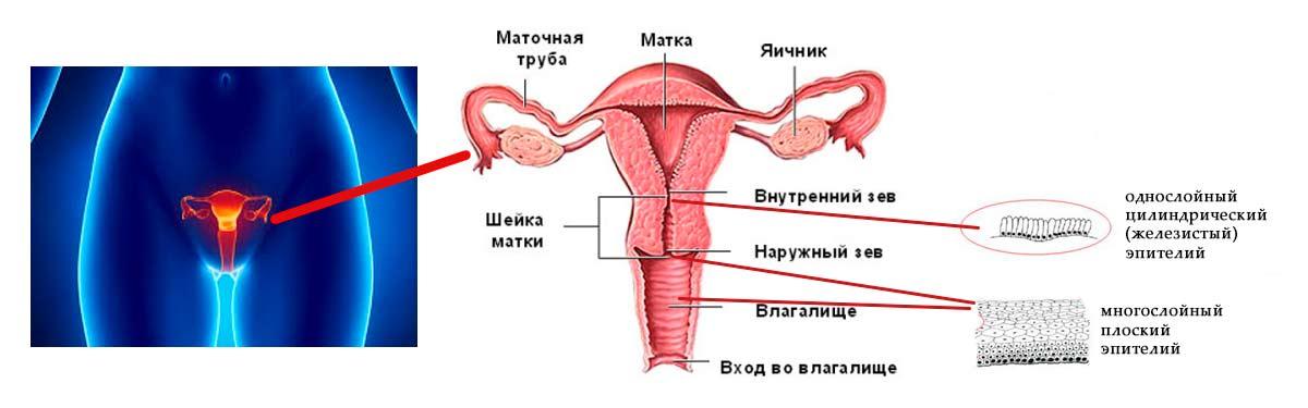 dlina-vlagalishnoy-chasti-sheyki-matki